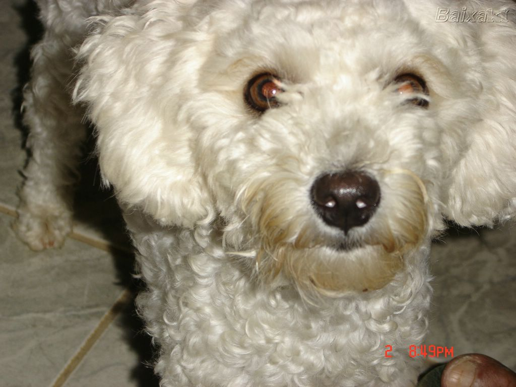 poodle essay Find a poodle on gumtree, the #1 site for dogs & puppies for sale classifieds ads in the uk.